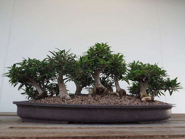 Bonsai für Einsteger - die Birkenfeige (Ficus)