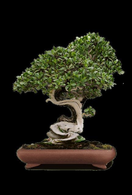 Bonsai für Einsteiger - Fukientee