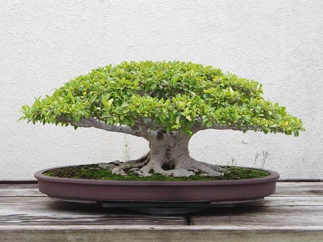Ficus Bonsai richtig verschneiden
