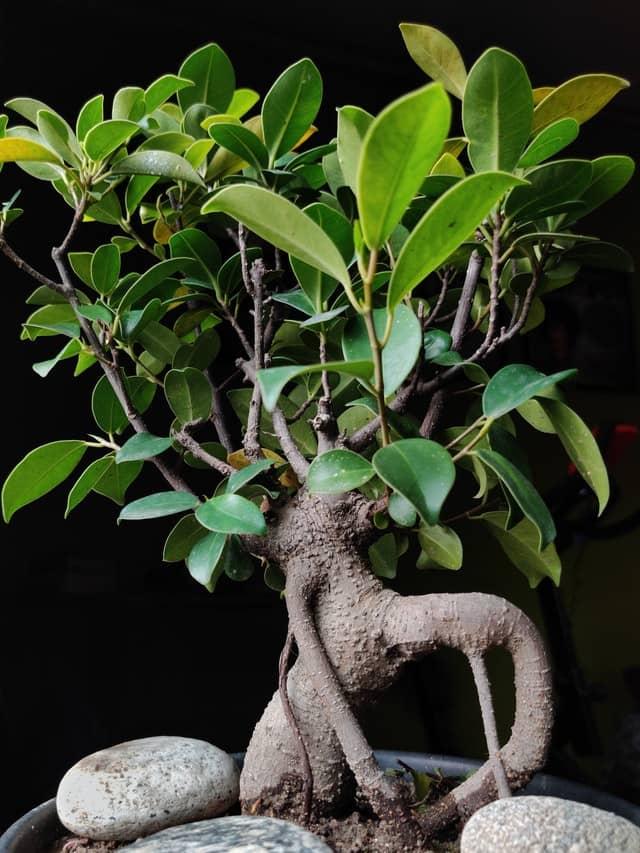richtiger Schnitt eines Ficus Bonsai