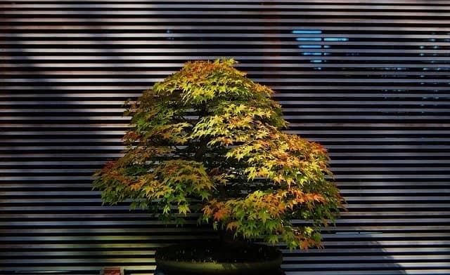 Pflege & Gestaltung eines Fächerahorn Bonsai