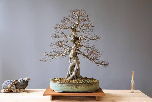 chinesische Ulme Bonsai Baum ohne Blätter