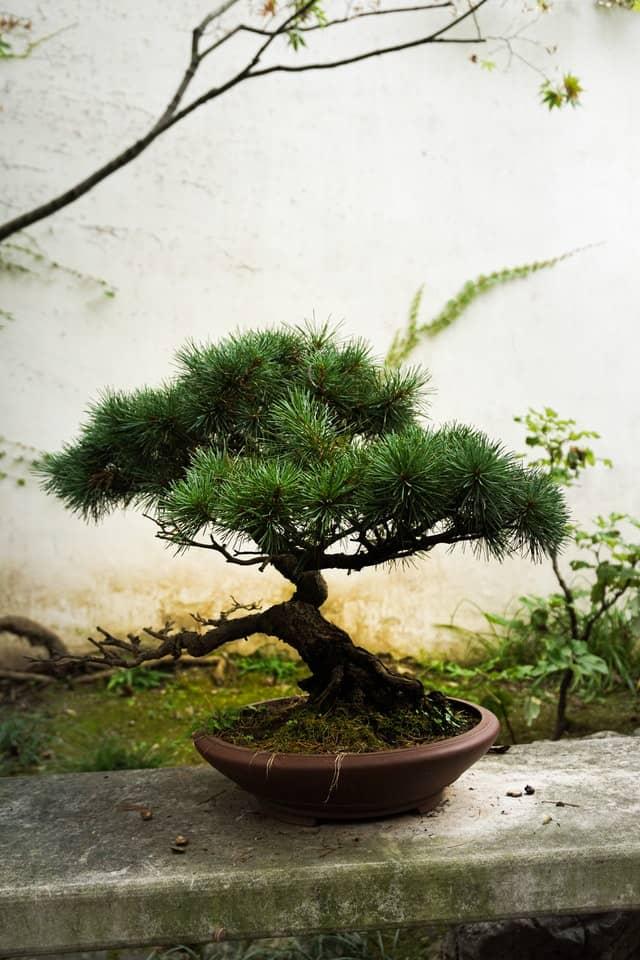 Gestaltung & Pflege eines Kiefern Bonsai