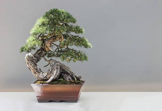 Kiefer Bonsai in einer rechteckigen, braunen Schale