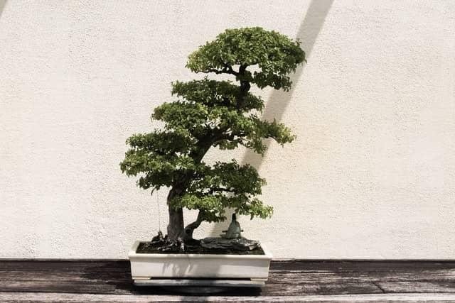 Bonsai mit weißer Schale