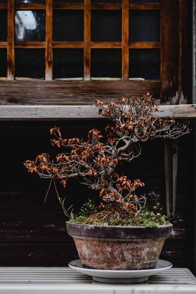 ausgetrockneter Bonsai durch zu wenig Bewässerung
